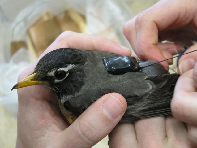 Scientists attached small GPS backpacks to American robins to learn more about their migration patterns