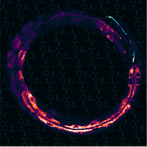 Stimulated Raman scattering microscopy image of the worm C. elegans. The image shows fat storage tissue – yellow pixels show high fat levels – with the olfactory AWC neuron pseudo-colored in blue. In the background are the chemical structures of different odorants.