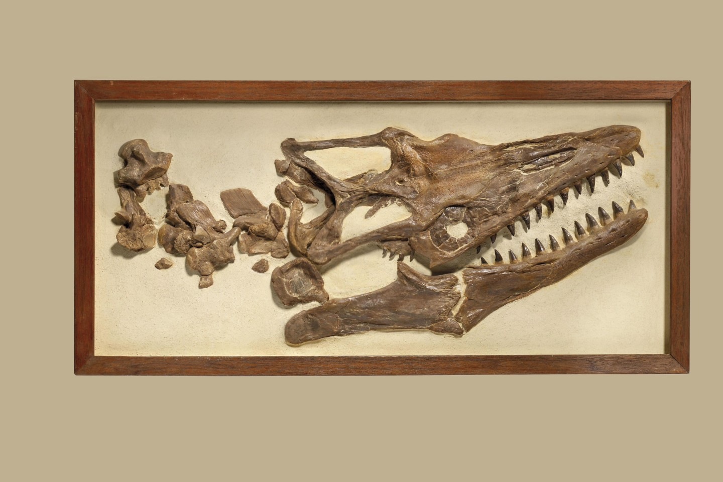 This 181⁄4 x 373⁄4 x 3 inch (46.5 x 96 x 8 cm) framed Mosasaur skull and neck vertebrae is from the Niobrara Formation in Kansas, USA. The Mosasaur dates from the Late Cretaceous (87 to 82 million years ago) period and is set in plaster.