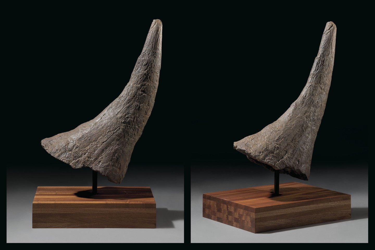 The brow horn from one of nature's most distinctive dinosaurs, this Triceratops remnant dates from the late Cretaceous (67-66 million years ago) period and is 33 inches (84cm) tall on its stand.