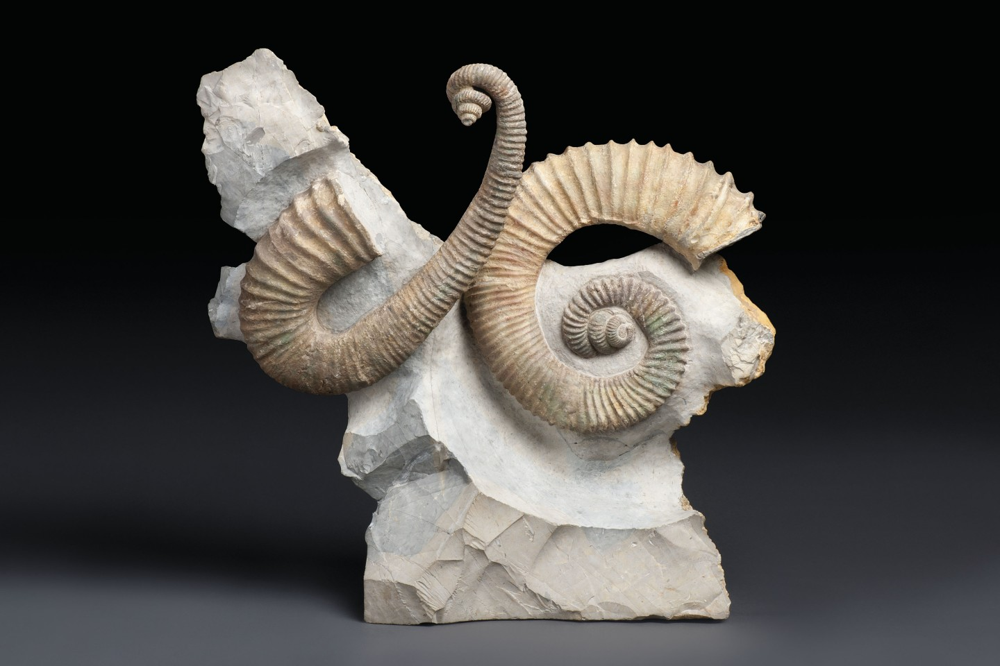 This 21 x 20 x 7 inch (54 x 51 x 18 cm) natural sculpture is from the Barremian Early Cretaceous (129.4 to 125.0 million years ago) period and contains two uncoiled Heteromorph Ammonites (Heteroceras emerici) prepped in original positions in matrix, which is cut flat to base.