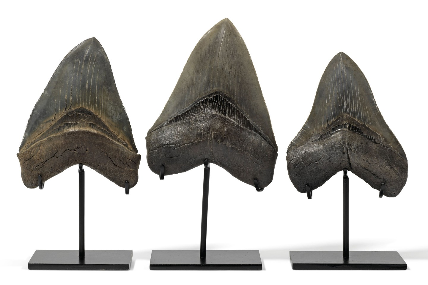 Three teeth from the giant Carcharocles megalodon, being 5½, 4⅞ & 5⅛ inches long respectively. From the Langhian (16-14 million years ago) period, these teeth, with their sharp serrations are an indication of the lethality of the largest and most powerful predator ever to stalk the oceans of the world. The custom stands are approximately 8 ines (20 cm) tall.