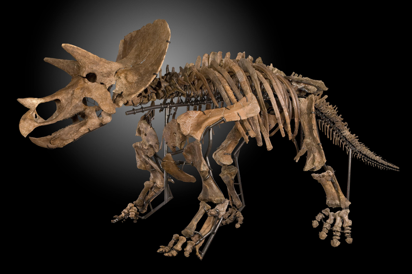 The amount of effort required to produce a full museum-quality-display dinosaur skeleton from an archeological find is immense. The above Triceratops prorsus specimen was discovered in 2012 on a private ranch in Montana when pieces of dinosaur bone were found. These bone fragments were followed and eventually large bones indicated the presence of a large Ceratopsian dinosaur. Many of these bones needed to be excavated, meaning the entire process took many weeks as the specimen could be damaged if the work was not slow and careful. Each specimen was covered in plaster jackets and removed from the field to the lab. The bones were then carefully removed from their field jackets and prepared using hand tools. Broken bones were professionally repaired and restored while several missing elements were cast from other Triceratops skeletons to complete the skeleton. A custom mount has been created to support the bones and the skull; innovative bracket mounts were crafted for each bone so that no bones were damaged in order to mount them. The bones were mounted in osteologically correct positions. Each such creature devours hundreds of hours of patient, exacting labor.