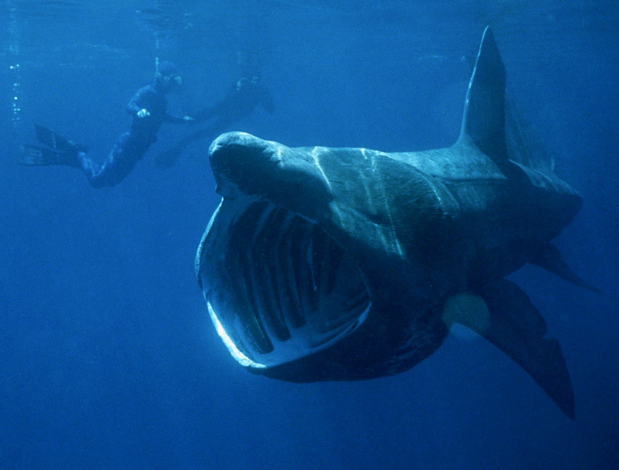 The basking shark, which is the world's second-largest fish
