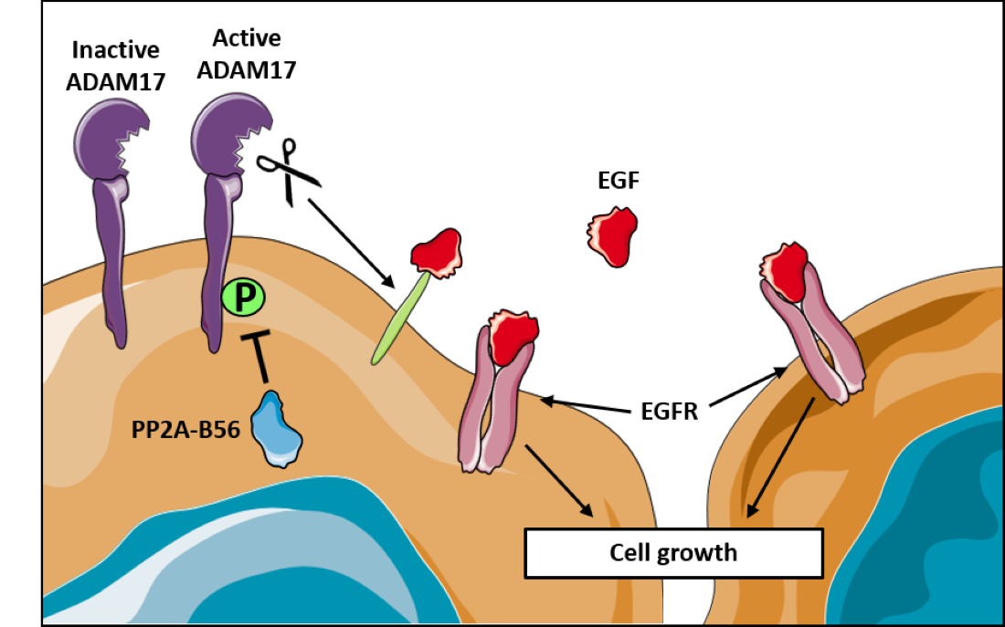 A diagram demonstrating how PP2A and ADAM17 interact