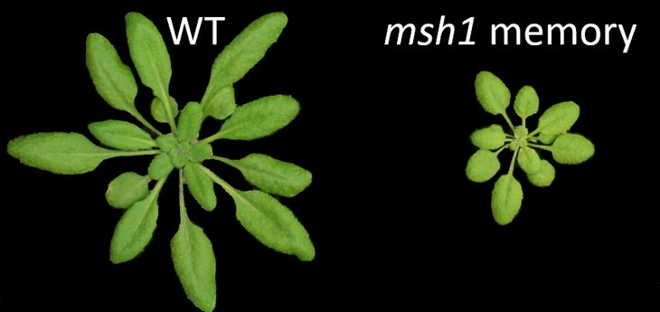 "Left: a wild-type plant that hadn't been epigenetically tweaked. Right: a plant that retained the ""memory"" of its parents' struggles"