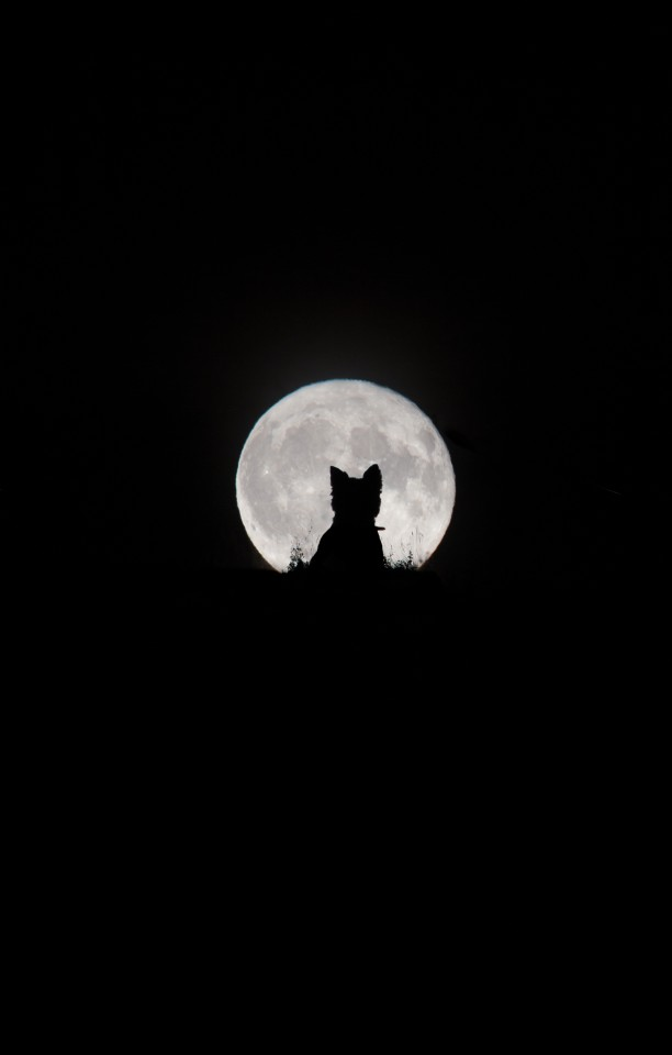 Our Moon. 'Big Moon, Little Werewolf'. This charming shot was three years in the making. The photographer struggles to get her dog to sit still for a photo at the best of times