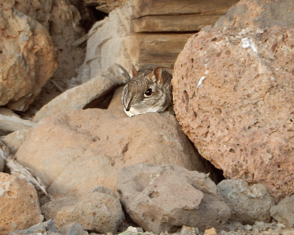 A Somali sengi was found in the very first trap the expedition team laid