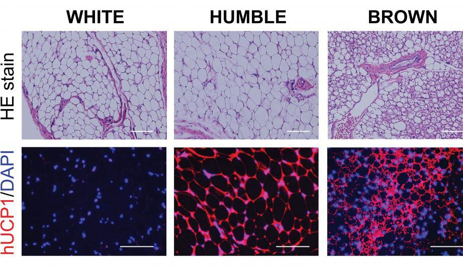 Images show the different fat cell types after transplantation, with the areas stained in red representative of brown-cell like characteristics