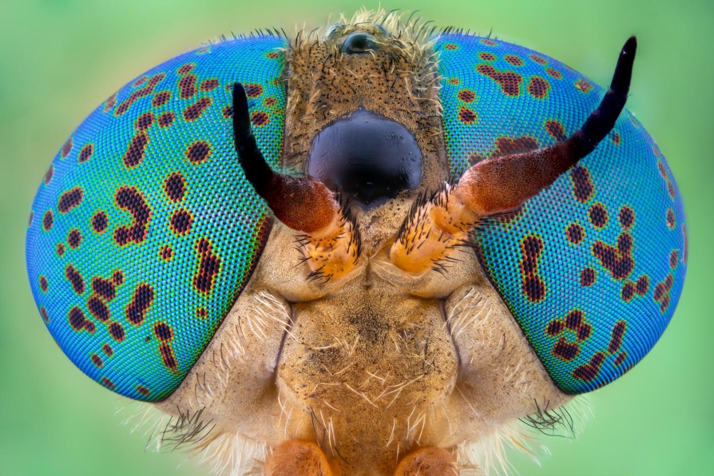 Image of Distinction. Horse-fly (Tabanidae)